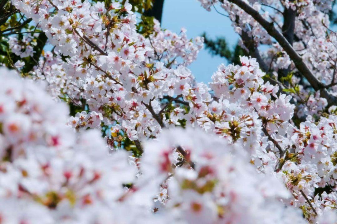MOA museum of art 桜  Sakura
